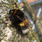 The Siberian Tree Bee Invasion