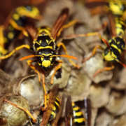 Wasps: The Perfect Storm